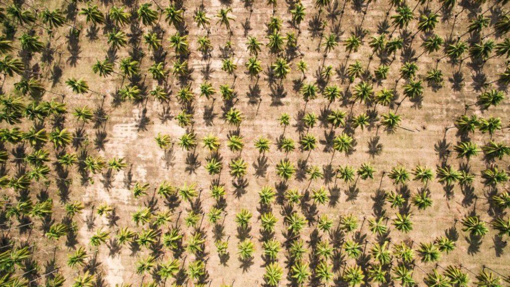 Kokosplantagen